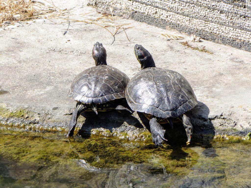 Vatican Turtles