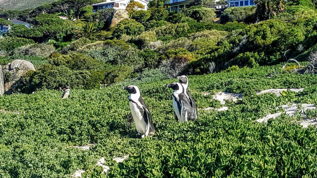 Cape Town more penguins
